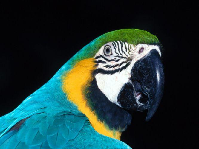 macaw parrot bird tropical (22) wallpaper