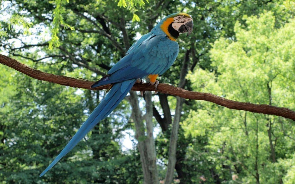 macaw parrot bird tropical (15) wallpaper
