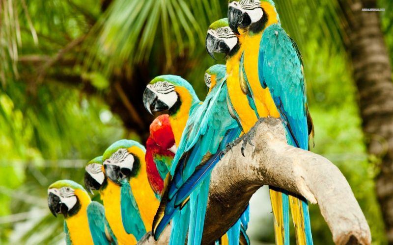 macaw parrot bird tropical (17) wallpaper