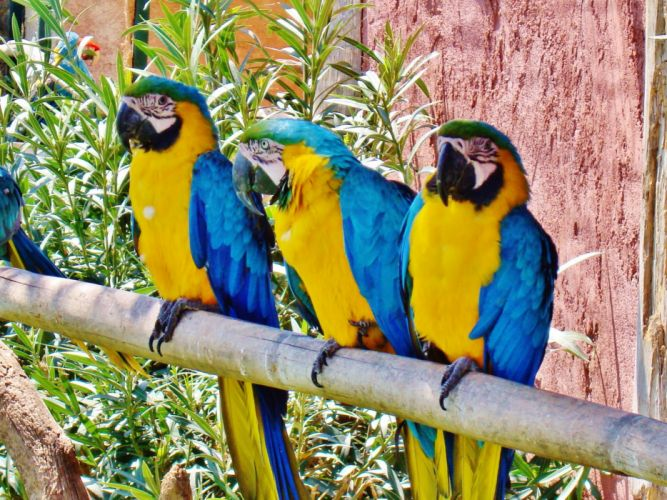 macaw parrot bird tropical (23) wallpaper