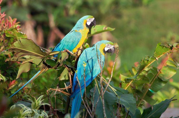 macaw parrot bird tropical (25) wallpaper