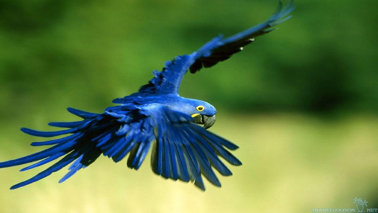 macaw parrot bird tropical (27) wallpaper