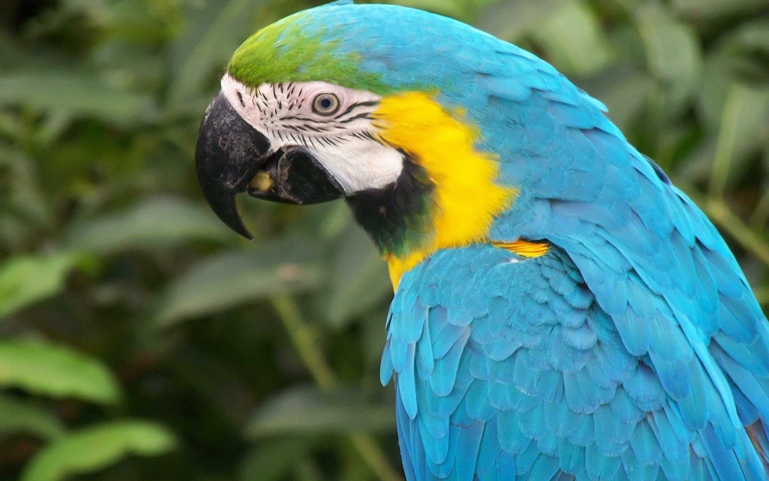 Macaw parrot bird tropical 28 wallpaper 2560x1600 for Gold bird wallpaper