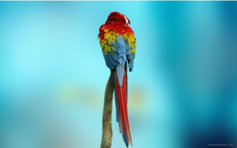 macaw parrot bird tropical (35) wallpaper