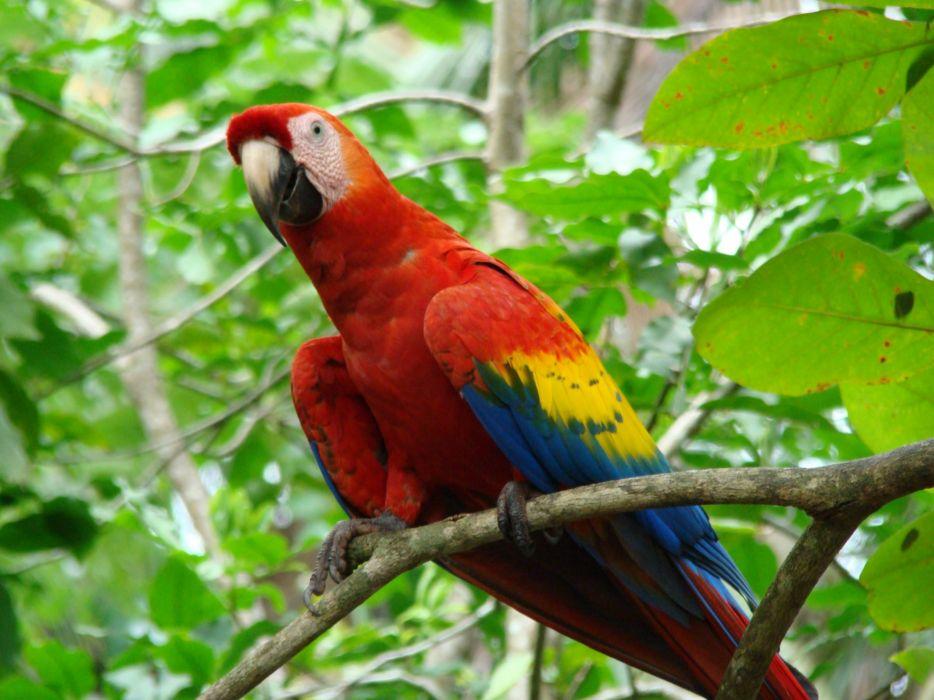 macaw parrot bird tropical (38) wallpaper