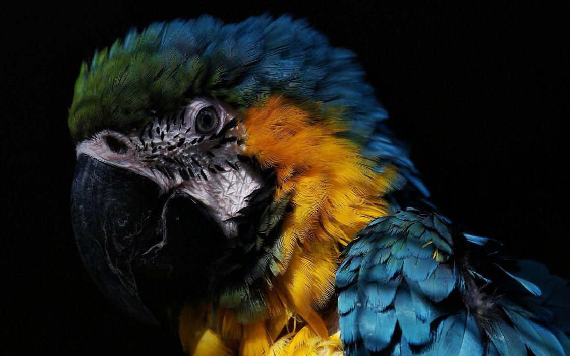macaw parrot bird tropical (39) wallpaper
