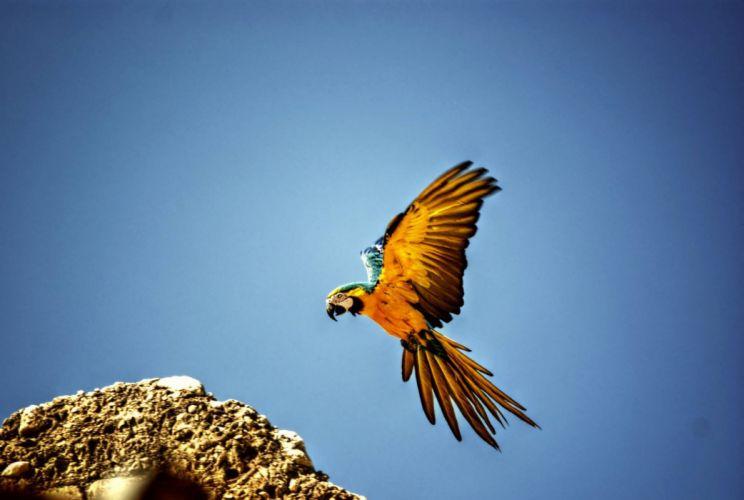 macaw parrot bird tropical (48) wallpaper