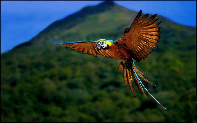 macaw parrot bird tropical (41) wallpaper