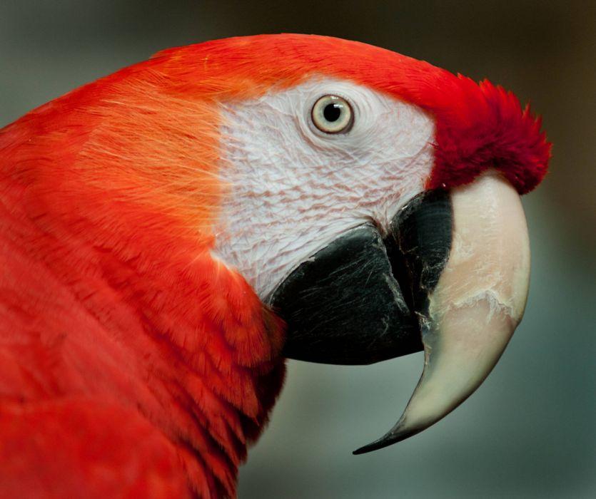macaw parrot bird tropical (50) wallpaper