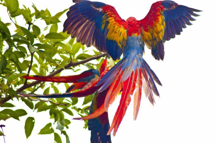 macaw parrot bird tropical (49) wallpaper