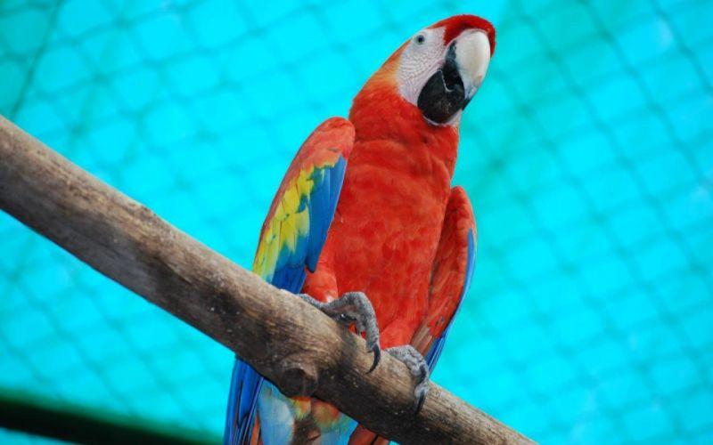 macaw parrot bird tropical (54) wallpaper