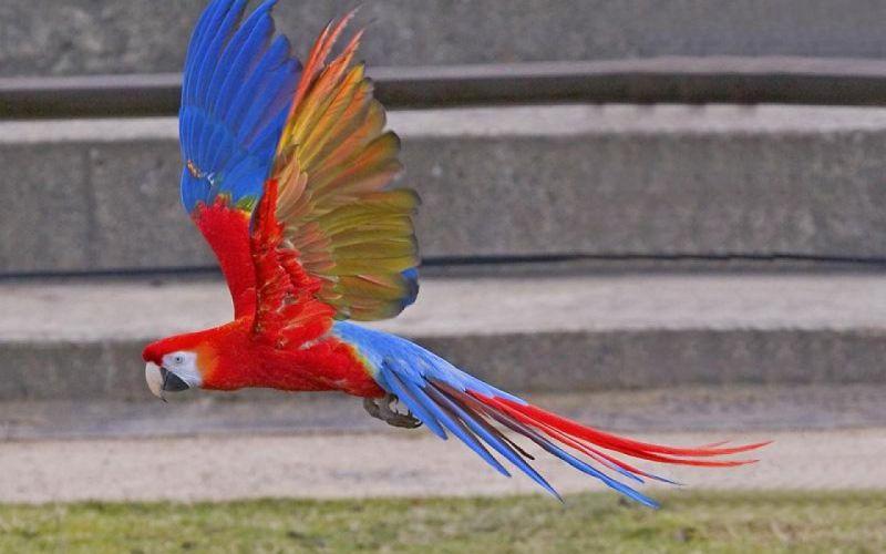 macaw parrot bird tropical (53) wallpaper