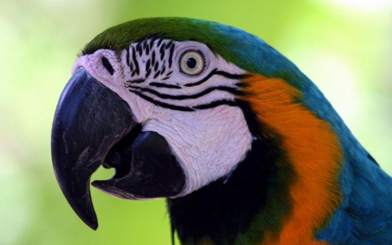 macaw parrot bird tropical (52) wallpaper