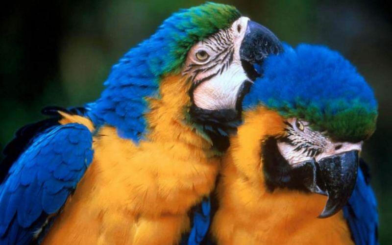 macaw parrot bird tropical (57) wallpaper