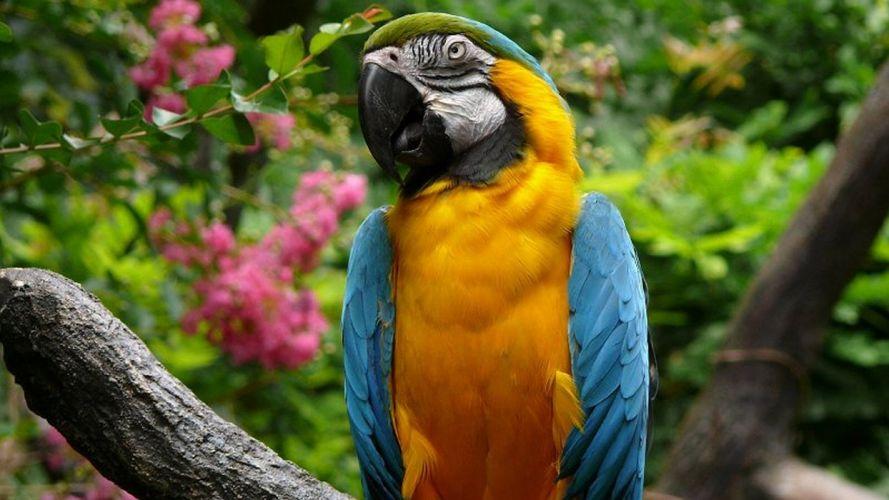 macaw parrot bird tropical (64) wallpaper