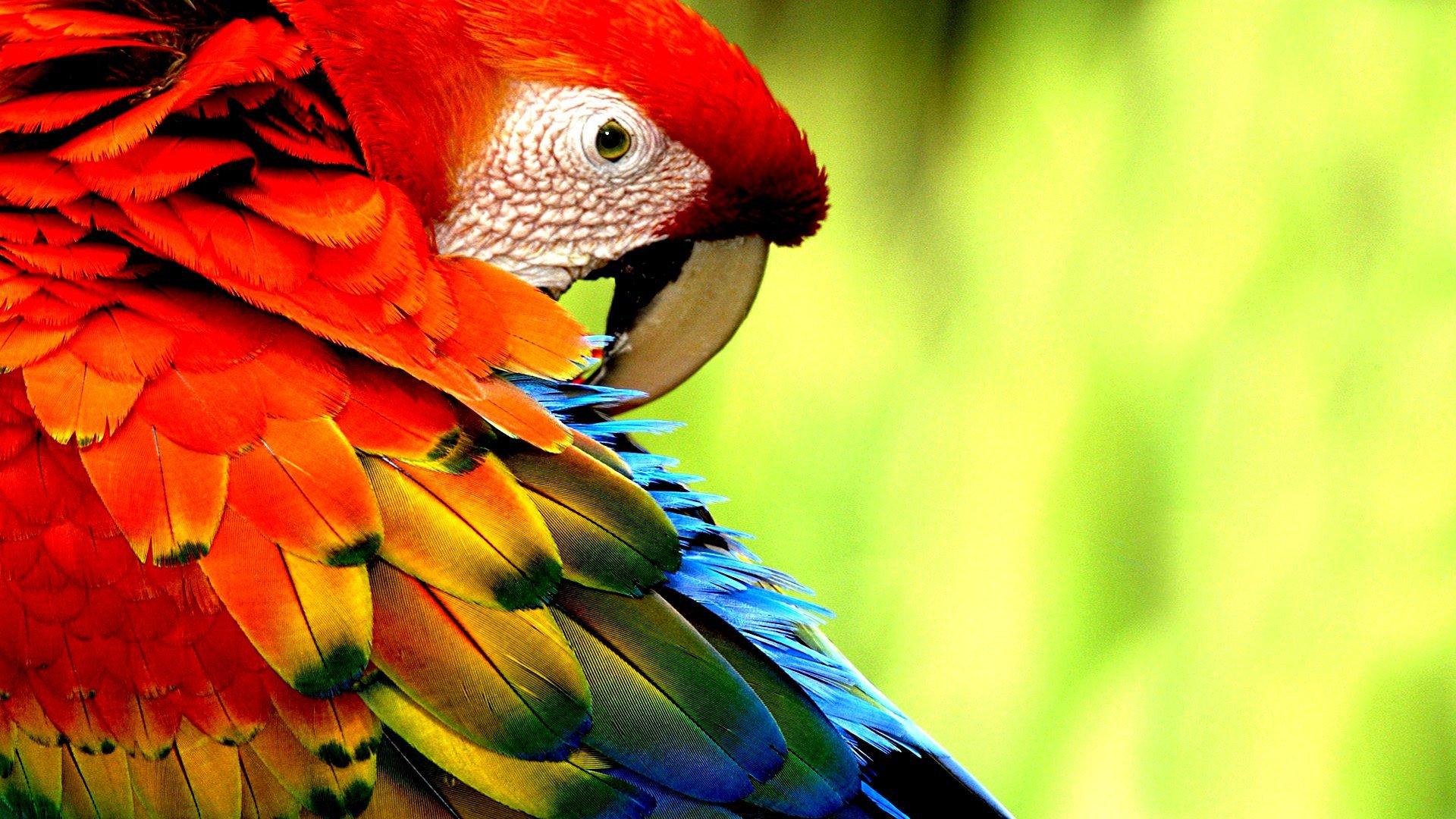 macaw parrot bird tropical (71) wallpaper | 1920x1080 | 362969