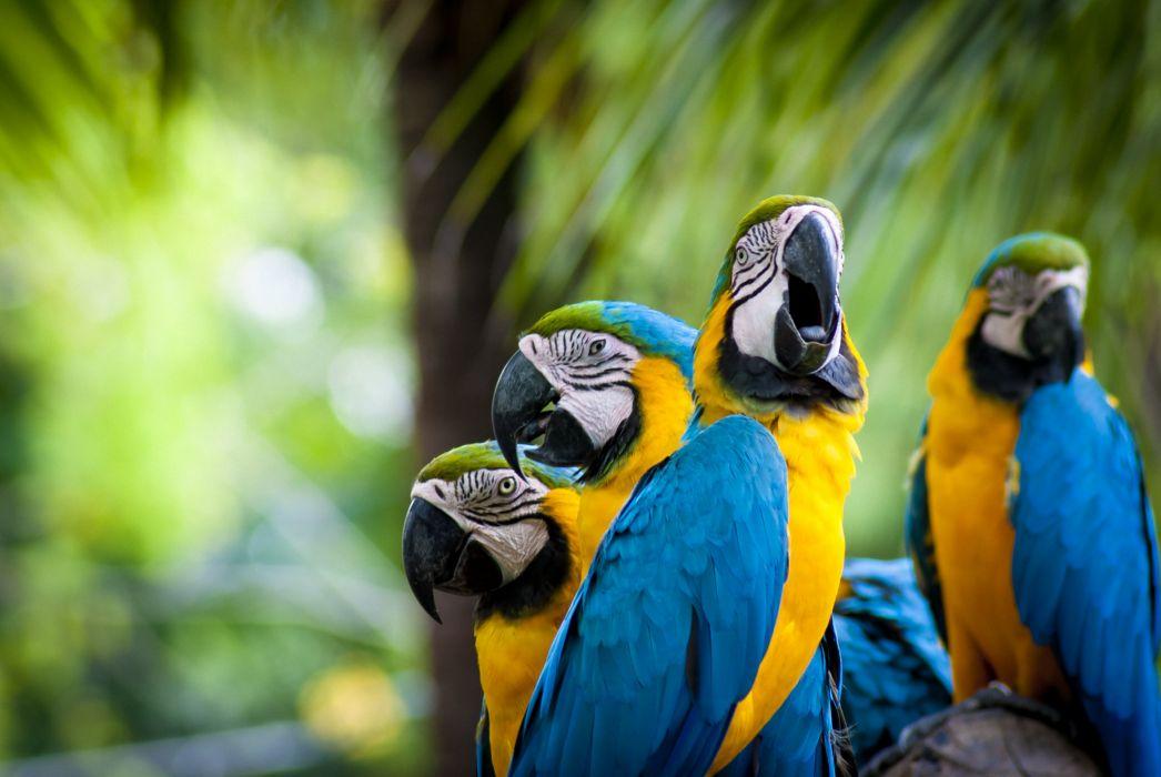 macaw parrot bird tropical (68) wallpaper
