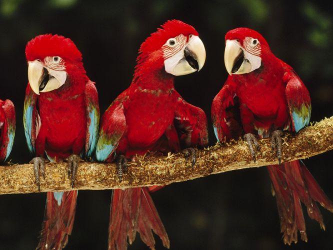 macaw parrot bird tropical (79) wallpaper