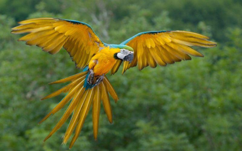 macaw parrot bird tropical (77) wallpaper