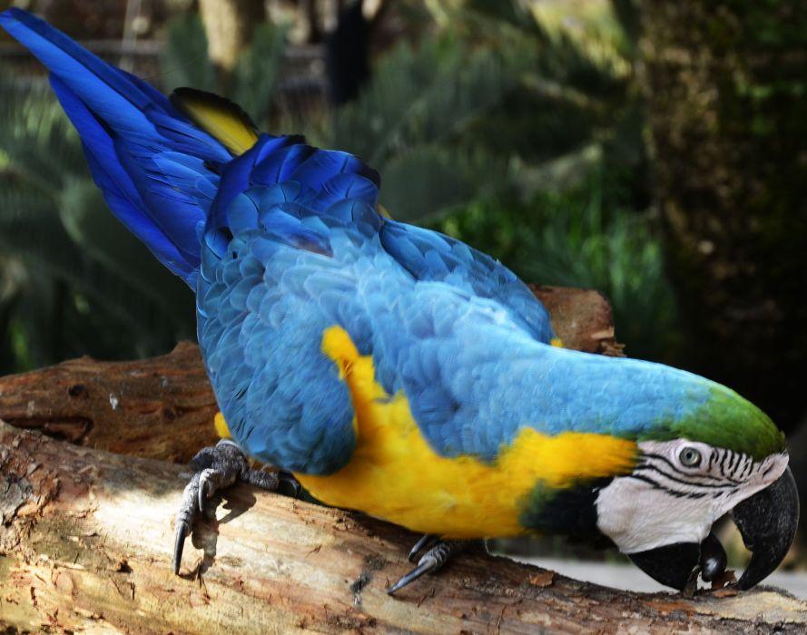 macaw parrot bird tropical (78) wallpaper