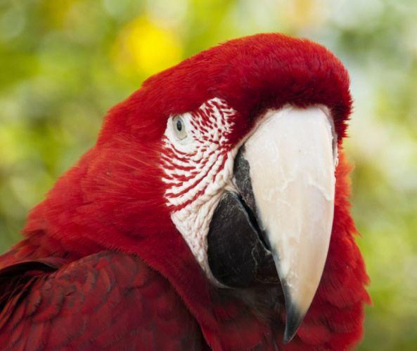 macaw parrot bird tropical (76) wallpaper