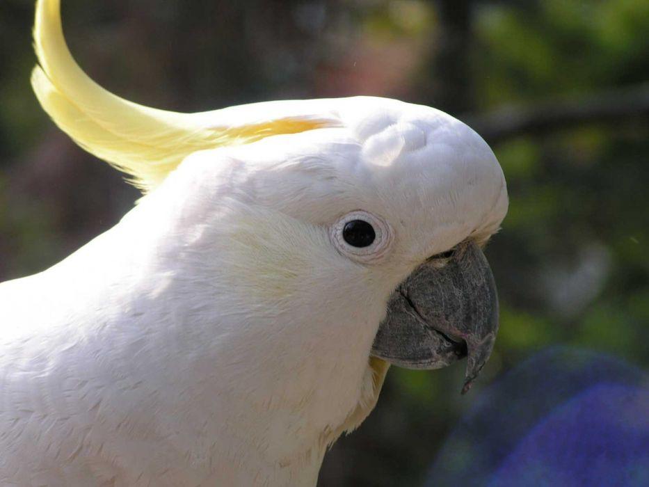 COCKATOO parrot bird tropical (2) wallpaper