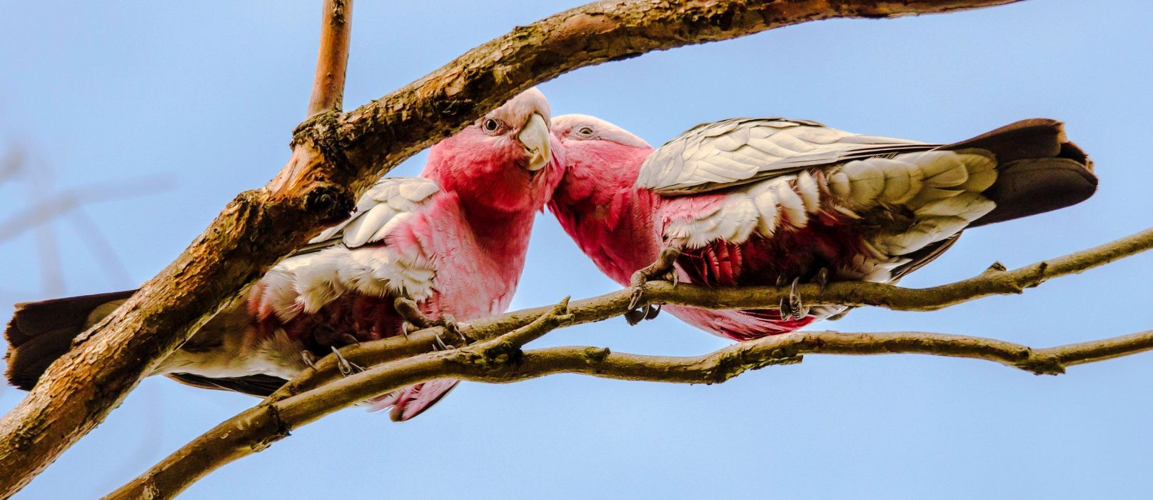 COCKATOO parrot bird tropical (1) wallpaper