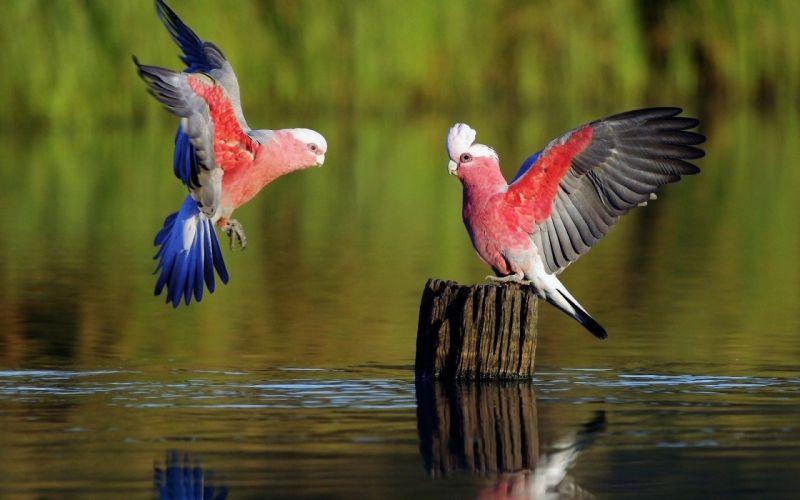 COCKATOO parrot bird tropical (10) wallpaper