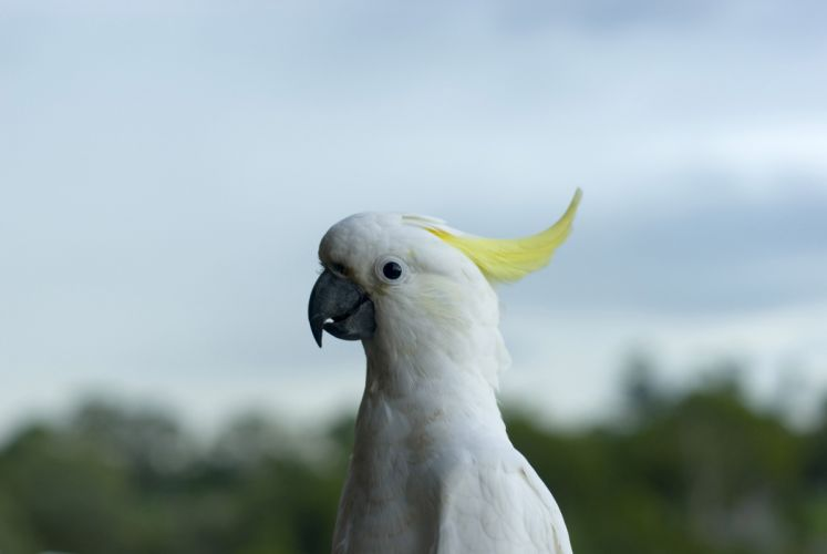 COCKATOO parrot bird tropical (30) wallpaper
