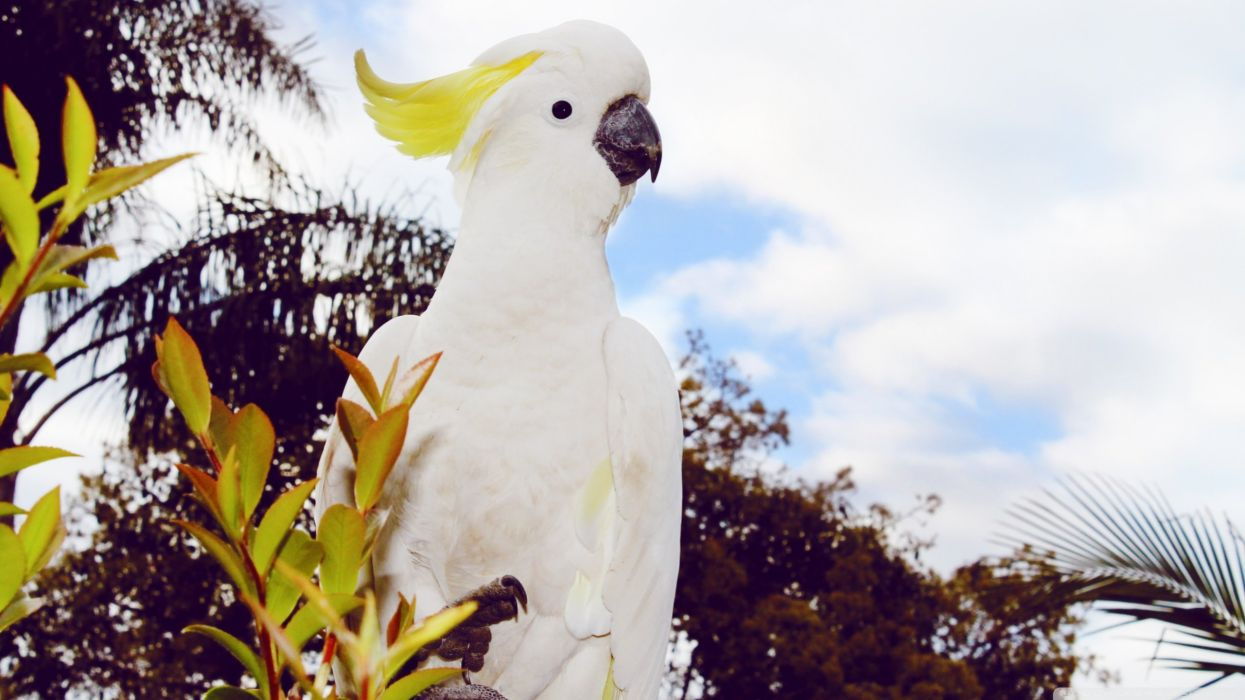 COCKATOO parrot bird tropical (65) wallpaper