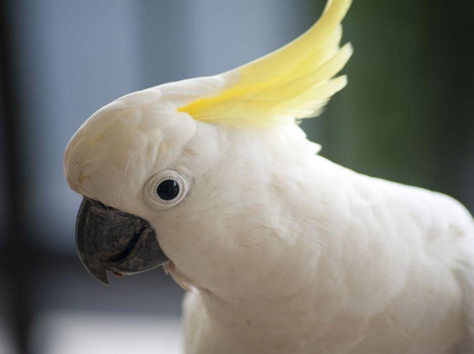 COCKATOO parrot bird tropical (69) wallpaper