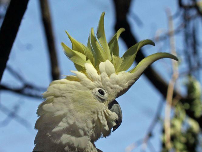 COCKATOO parrot bird tropical (79) wallpaper