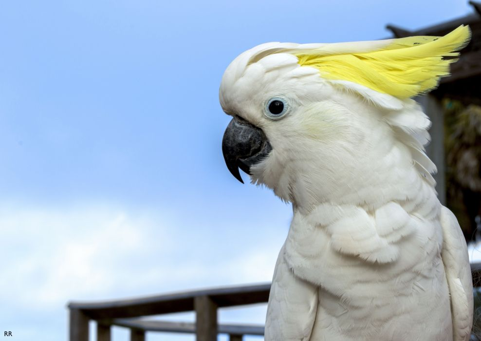 COCKATOO parrot bird tropical (84) wallpaper