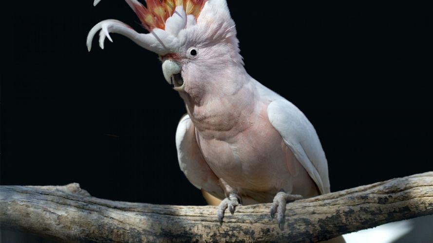 COCKATOO parrot bird tropical (90) wallpaper