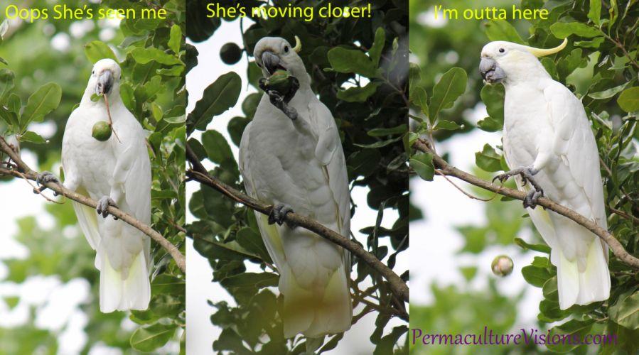 COCKATOO parrot bird tropical (88) wallpaper