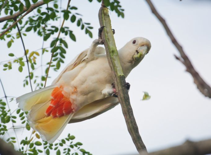 COCKATOO parrot bird tropical (93) wallpaper