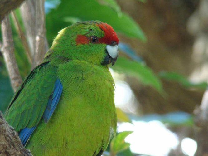 parakeet budgie parrot bird tropical (1) wallpaper