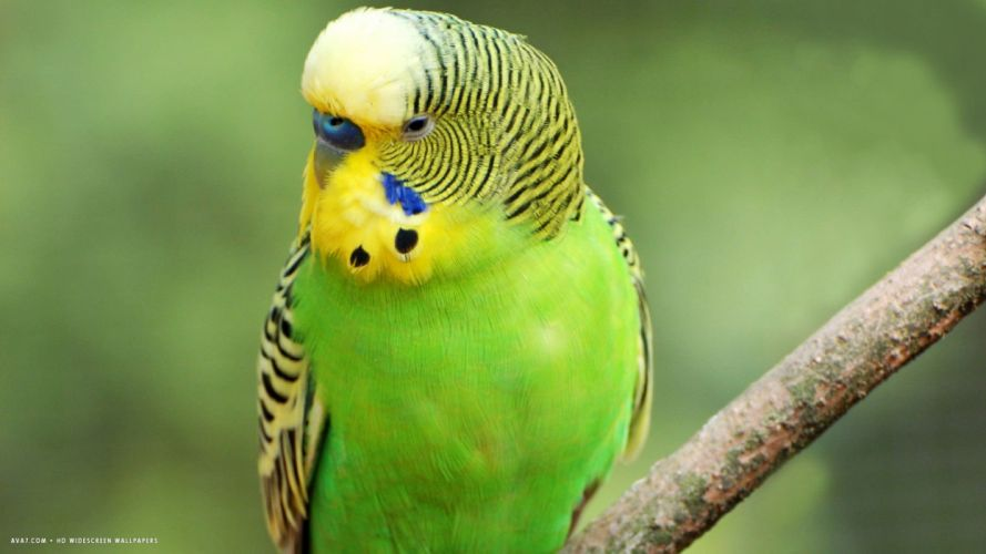parakeet budgie parrot bird tropical (4) wallpaper