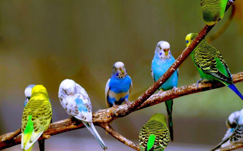 parakeet budgie parrot bird tropical (13) wallpaper