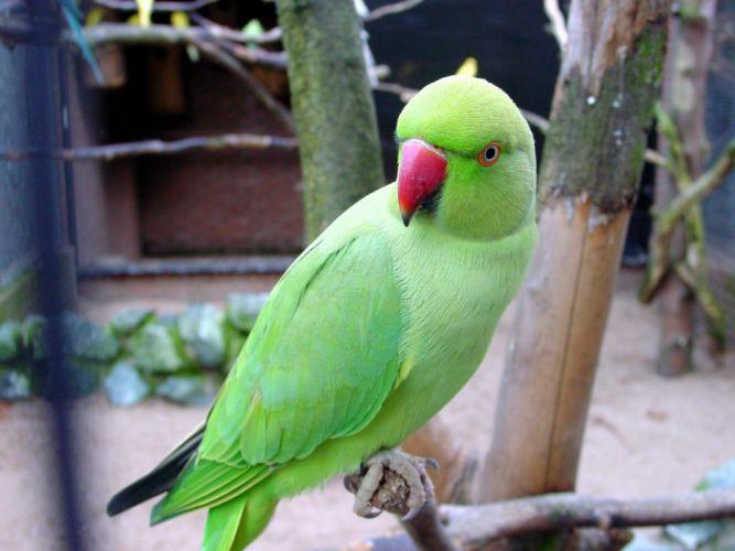 parakeet budgie parrot bird tropical (25) wallpaper