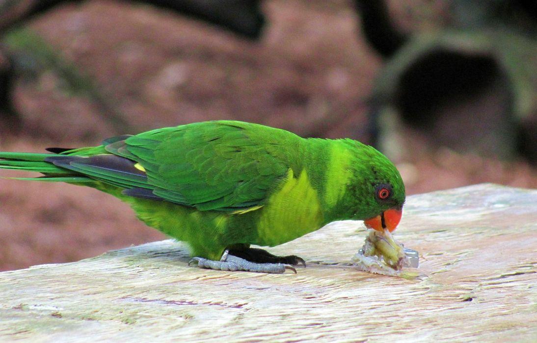 parakeet budgie parrot bird tropical (26) wallpaper