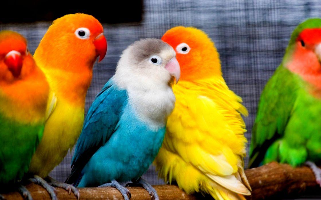 parakeet budgie parrot bird tropical (27) wallpaper