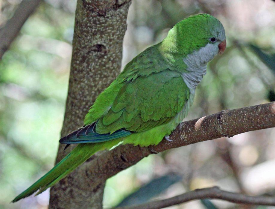 parakeet budgie parrot bird tropical (40) wallpaper