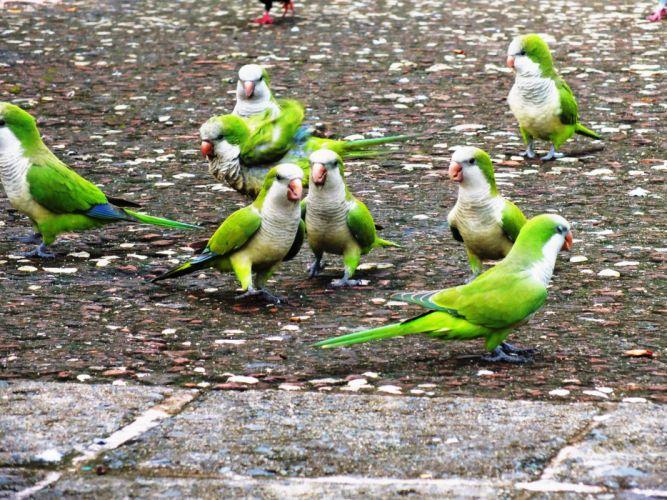 parakeet budgie parrot bird tropical (36)_JPG wallpaper
