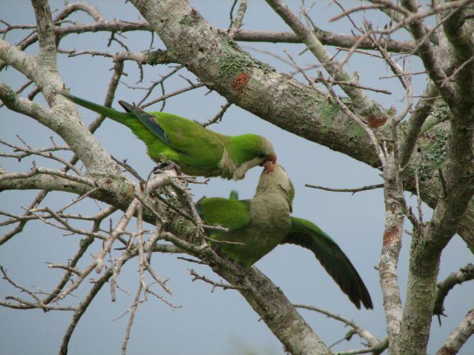 parakeet budgie parrot bird tropical (42)_JPG wallpaper