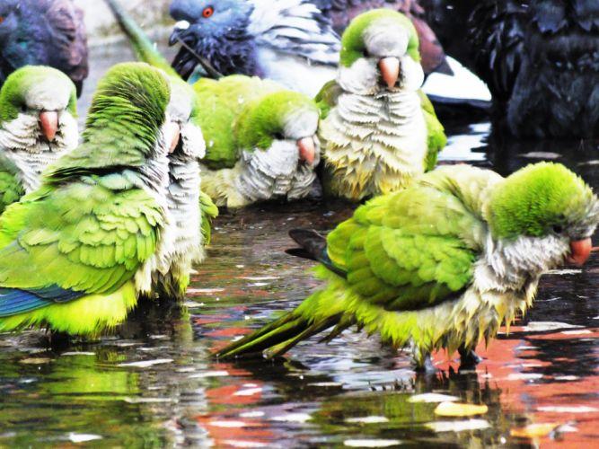 parakeet budgie parrot bird tropical (39)_JPG wallpaper