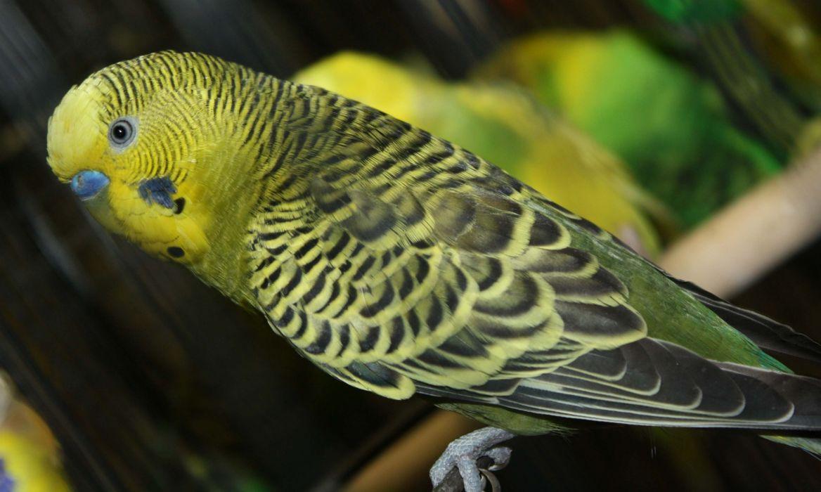 parakeet budgie parrot bird tropical (48) wallpaper