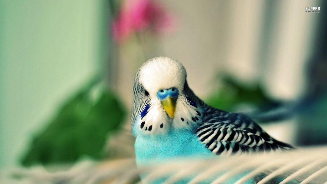 parakeet budgie parrot bird tropical (54) wallpaper
