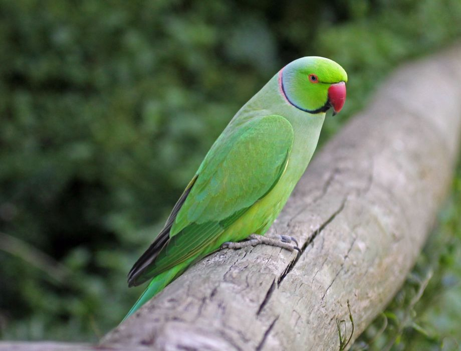 parakeet budgie parrot bird tropical (52) wallpaper