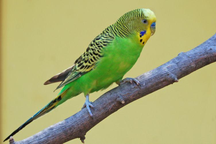 parakeet budgie parrot bird tropical (53) wallpaper